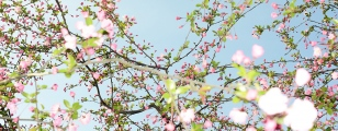 Kirschblüte bei Tag
