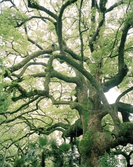 Tree at a Kyoto Temple
