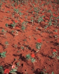 Brasiiia, red soil and flowers