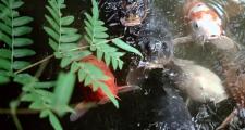Kyoto Temple Gardens Fish