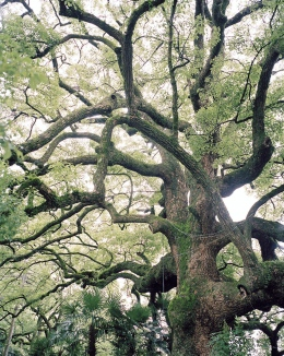Tree at a Kyoto Temple