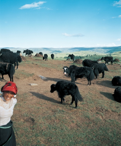 Woman taking care of her Yaks, mountain side, Tagong Sichuan